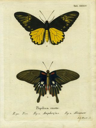 Papil. Exotic. ButterflyMoth Engraving, I. C. Bock