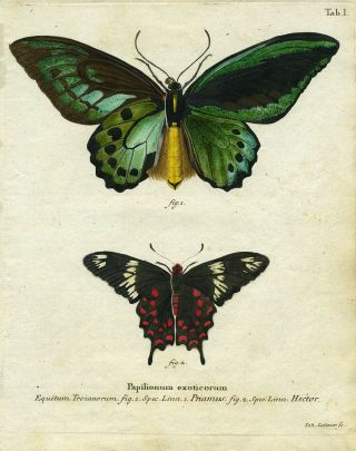 Papilionum Exoticorum. Butterfly/Moth Engraving, Joh Leitner