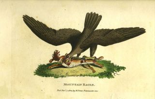 'Mountain Eagle'. Engraving. Australia, George Barrington