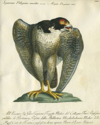 "Sparriere Pellegrino maschio, Plate XXIII, engraving from ""Storia naturale degli uccelli trattata..."