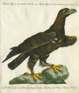 "Aquila Rapace con macchie bianche, Plate IV, engraving from ""Storia naturale degli uccelli..."