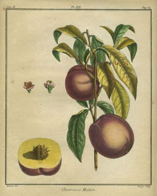 "Chevreuse Hative, Plate XIII, from ""Traite des Arbres Fruitiers"" Henri Louis Duhamel Du Monceau"
