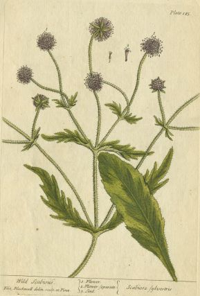 "Wild Scabious from ""A Curious Herbal, containing five hundred cuts, of the most useful plants,..."