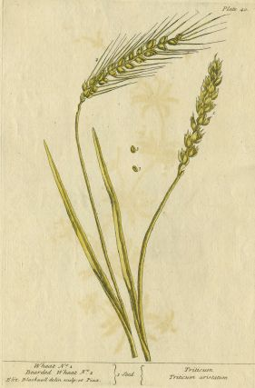 "Wheat No. 1, Bearded Wheat No. 2 from ""A Curious Herbal, containing five hundred cuts, of the..."