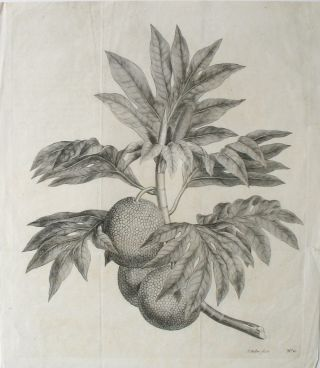 Breadfruit Engraving from Cook's first voyage. (A branch of the bread-fruit tree with the...