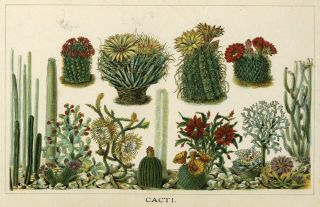 'Cacti'. Botanical chromolithograph with red and yellow flowering cacti