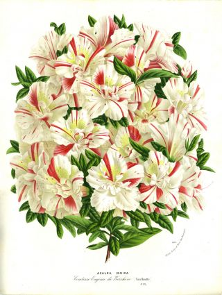 Azalea Indica, color chromolithograph. From the Flore des Serres et des Jardins de l'Europe....