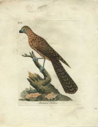 "Hand colored engraving, ""Radiated Falcon"" Birds; Australia, John Latham."