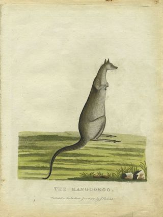 """The Kangooroo"", in original color from Phillip's Voyage. Gov. Arthur Phillip, Peter Mazell"