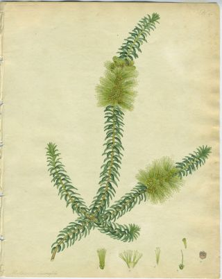 """Melaleuca diosmafolia"". Australian bottle brush. Hand colored stipple engraving. Henry Andrews"