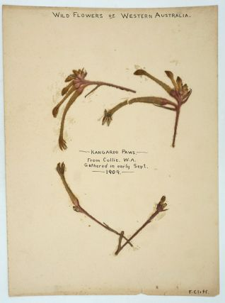 Pressed Kangaroo Paws (wildflowers) from trip to Collie, Western Australia. Western Australia, F....