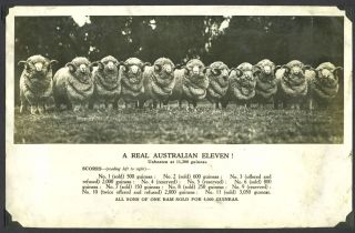 A real Australian eleven! …Unbeaten at 11,200 guineas. All sons of one ram sold for 5,000...